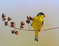 Male lesser goldfinch eating crepe myrtle seeds