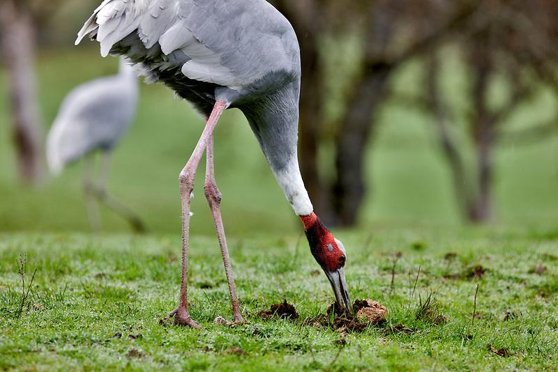 Sarus Crane. Wildlife Safari. Wnston, Oregon