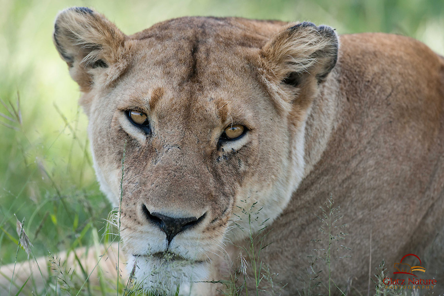 Closeup of mating female Lion (Panthera leo), Masai Mara