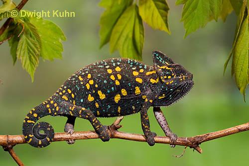 CH39-505z  Female Veiled Chameleon in display colors, Chamaeleo calyptratus