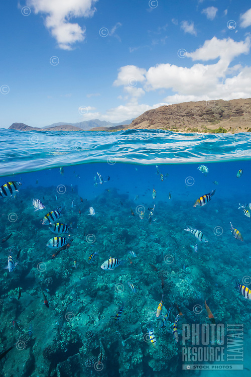 Reef fish, with West O'ahu in the background