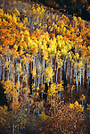 Aspens cloaked in their fall color in Steamboat, Colorado.