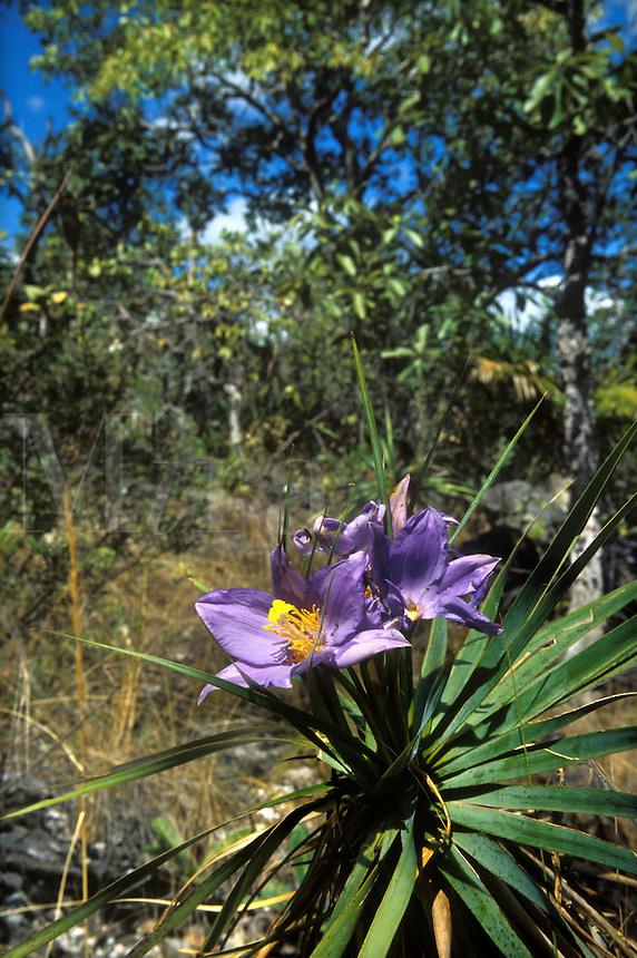 Flowering plant of the Velloziaceae family in wooded savanna called cerrado in Chapada dos Veadeiros, Goias, Brazi