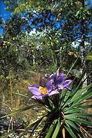 Flowering plant of the Velloziaceae family in wooded savanna called cerrado in Chapada dos Veadeiros, Goias, Brazi