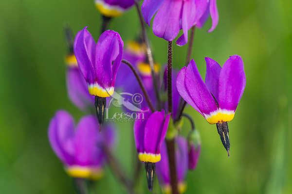 Shooting Stars (Dodecatheon poeticum).  Wildflowers, Pacific Northwest. Early Spring.