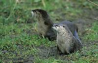 Fischotter, Fisch-Otter, Otter, Lutra lutra, river otter