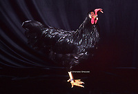 """In the photo the race  Leghorn, or Livorno Black Chickens  male.<br /> <br /> The Leghorn Italian: Livorno or Livornese) is a breed of chicken originating in Tuscany, in central Italy. Birds were first exported to North America in 1828 from the Tuscan port city of Livorno, on the western coast of Italy. They were initially called """"Italians"""", but by 1865 the breed was known as """"Leghorn"""", the traditional anglicisation of """"Livorno"""". The breed was introduced to Britain from the United States in 1870.White Leghorns are commonly used as layer chickens in many countries of the world. Other Leghorn varieties are less common.<br /> Photo Roosters and Hens Ornamental breeds, Italian champion breeds August 2020."""