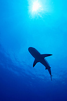 Silhouette of Caribbean Reef Shark, Carcharhinus perezii, West End, Grand Bahamas, Atlantic Ocean