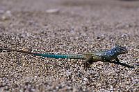 tropical whiptail lizard, endemic subspecies Cnemidophorus murinus ruthveni Boca Cocolishi, Bonaire, Netherland Antilles (Dutch ABC Islands) (Caribbean, Atlantic)