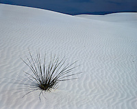 Lone Yucca on the white sand dunes; White Sands National Monument, NM