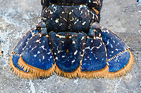 Europe/France/Bretagne/29/Finistère/Cléden Cap Sizun : les homards bleus d' Huguette le Gall du restaurant l'Etrave