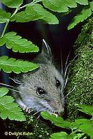 MU29-030z  Deer Mouse - immature young -  Peromyscus maniculatus