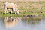 Damon, Texas; an adult American alligator warming itself on the bank of the slough, in late afternoon sunlight, as a white cow grazes nearby in the pasture