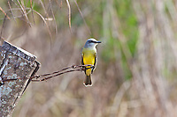 Western Kingbird, Teacapan, Mexico