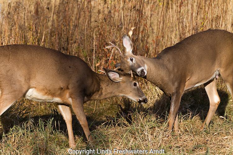 White-tailed bucks sparring