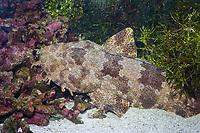 Ornate Wobbegong Shark (Orectolobus ornatus) (c)