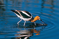 American Avocet (Recurvirostra americana) looking for food.  Western U.S., May.