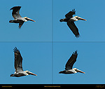 Brown Pelican Flight Study, Eastern Brown Pelican, Pelecanus occidentalis carolinensis, Sanibel Island, Florida