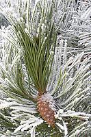 Pine tree with hoar frost. Wilsonville. Oregon