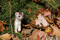 Ermine or short-tailed weasel (Mustela erminea).  Northern U.S., October.  Changing from summer brown to winter white in fall.