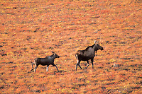 moose, Alces alces, cow and calf run over fall colored tundra on the 1002 coastal plain of the Arctic National Wildlife Refuge, ANWR or Arctic National Wildlife Refuge,, Alaska, USA