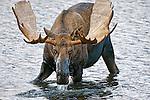 Portrait of a bull moose foraging food in a pond in Denali National Park, Alaska.