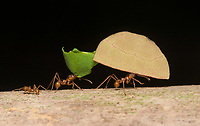 Leafcutter Ants, Atta cephalotes, carry pieces of leaf to their nest. Sarapiquí, Costa Rica