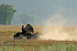 Bull Bison rolling in dust