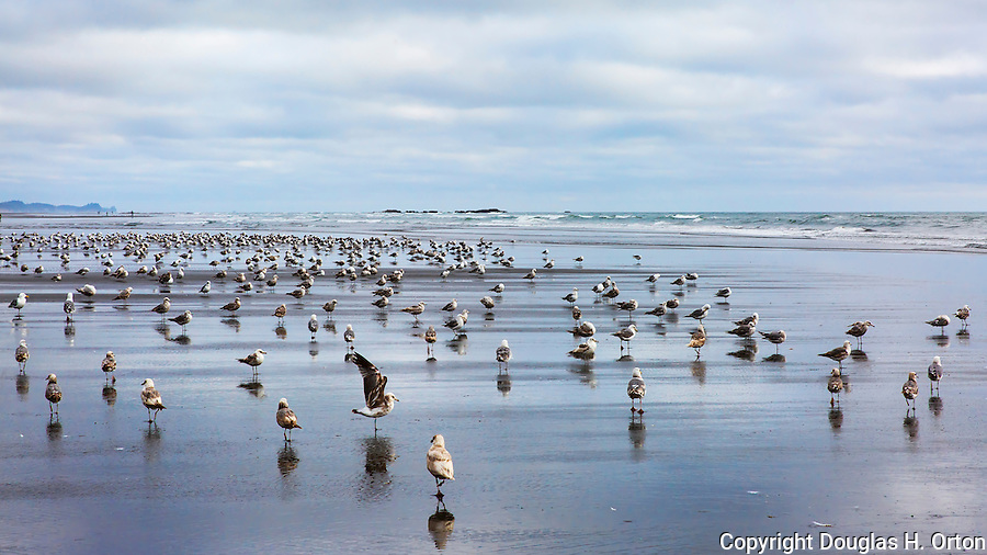 Kalaloch Beach with flock of gulls. Kalaloch Beach State Park, Washington.  Beaches in the Kalaloch area of Olympic National Park, identified by trail numbers, are remote and wild.  Olympic Peninsula, Olympic Mountains, Olympic National Park, Washington State, USA.