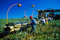 Pineapple pickers work on the Dole Pineapple Plantation located in the fields of central Oahu.