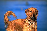 Portrait of a wet, alert Golden Retriever dog.