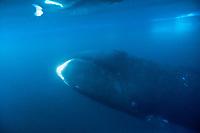 bowhead whale, Balaena mysticetus, North Baffin Island, Nunavut, Canada, Arctic Ocean