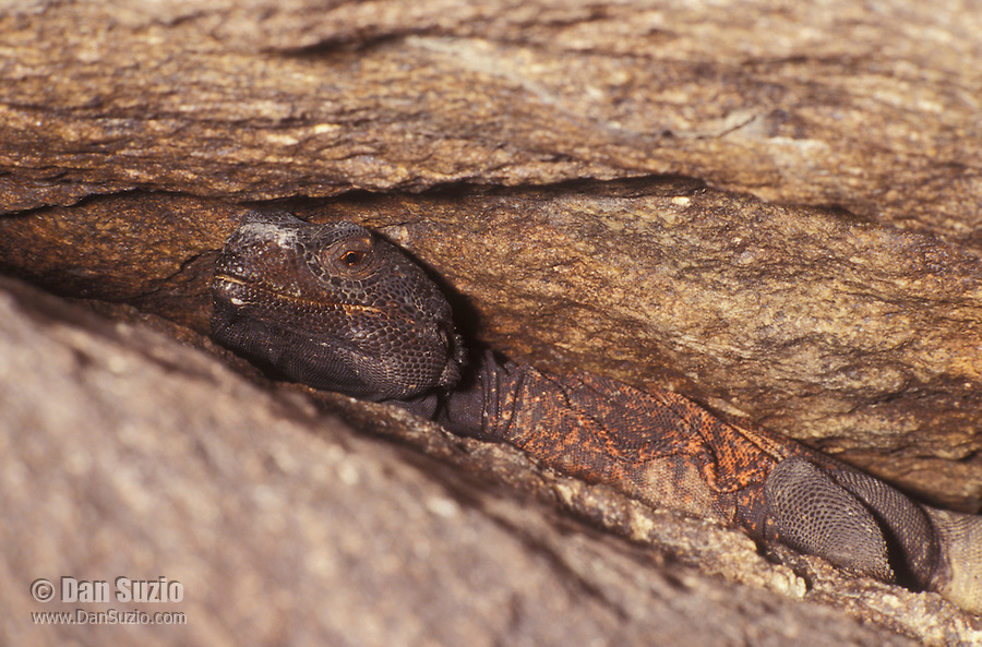 Western Chuckwalla, Sauromalus obesus, escapes predators by hiding in a crevice and inflating its lungs so it can't be pulled out. Joshua Tree National Park, California
