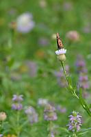 Queen (Danaus gilippus), adult feeding on American basket-flower (Centaurea americana), Hill Country, Central Texas, USA