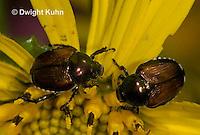 1C13-508z  Japanese Beetles eating flowers, Popilla japonica