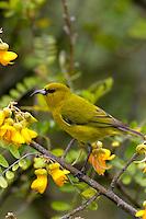 Maui amakihi (Hemignathus virens)on mamane flowers