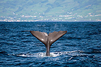 Sperm Whale Throws fluke high into the air water flying off the edges