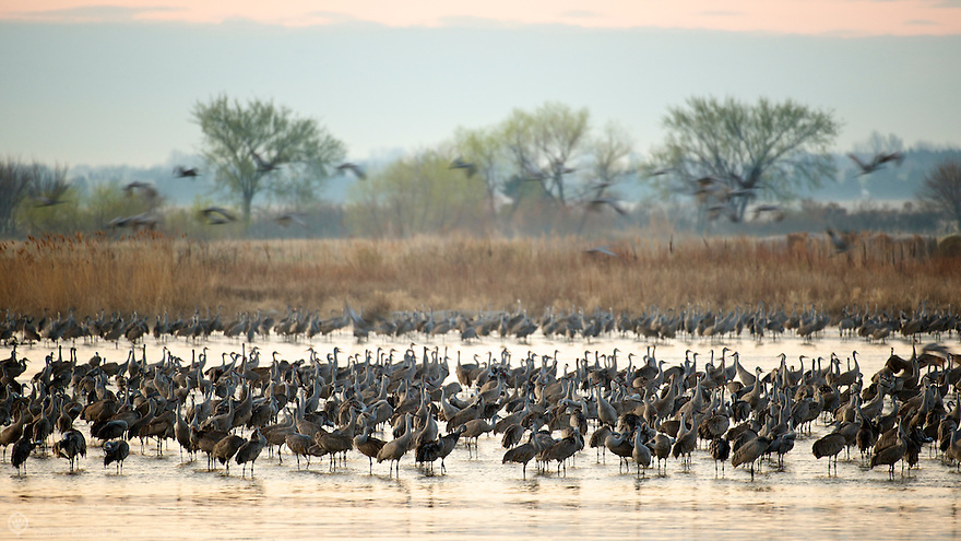 North America, United States, Nebraska, Wood River, Platte River. Sandhill Cranes waking from their nightly roost