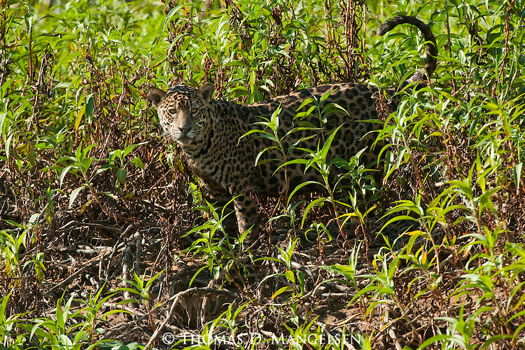 A jaguar walks through the jungle near the fork of the Three Brothers River in the Pantanal of Brazil.