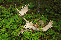 """""""Moose Skull in Spring""""<br /> <br /> I found and photographed this moose skull six years earlier on a Fall trip and was glad to see it still present and intact.<br /> ~ Day 91 of Inspired by Wilderness: A Four Season Solo Canoe Journey"""