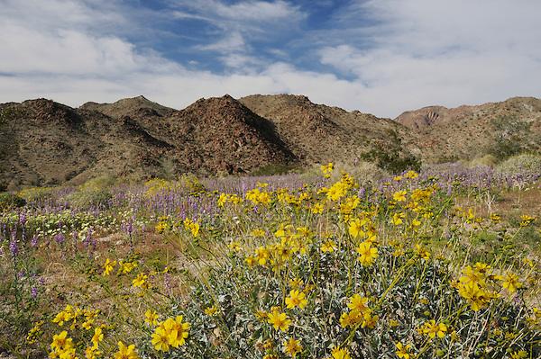 Desert in bloom with Brittlebush (Encelia farinosa), Arizona lupine (Lupinus arizonicus) , Joshua Tree National Park, California, USA