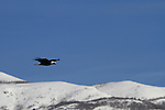 A Bald Eagle flies with the Wasatch Mountains in background.