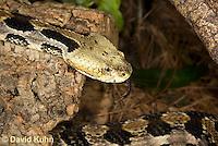 0601-0905  Timber Rattlesnake Flicking Tongue (Canebrake Rattlesnake), Crotalus horridus  © David Kuhn/Dwight Kuhn Photography