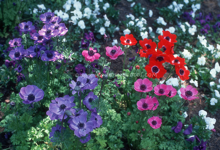 Anemones coronaria 'De Caan Mixture' including blue flowers of Anemone Mr Fokker in spring bloom