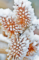 Hoar frost onseed head at Snively Hot Spring. Owyhee River. Oregon