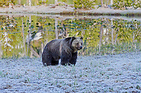 Grizzly Bear (Ursus arctos) near small pond on frosty morning.  Rocky Mountains, U.S., early summer.