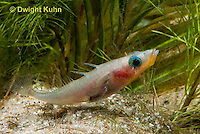 1S30-545z  Male Threespine Stickleback,  Mating colors showing bright red belly and blue eyes, gluing nest together with secretions from kidneys, Gasterosteus aculeatus,  Hotel Lake British Columbia