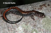 "0611-0858  Redback Salamander ""Red Variation"", Plethodon cinereus  © David Kuhn/Dwight Kuhn Photography"