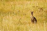 Eastern Grey Kangaroo (Macropus giganteus) sub-adult male in grassland, Mount Taylor Nature Reserve, Canberra, Australian Capital Territory, Australia