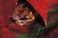 Wood Frog taking cover in maple leaves..Most northerly amphibian in the world..Autumn. Nova Scotia. Canada..Rana sylvatica.